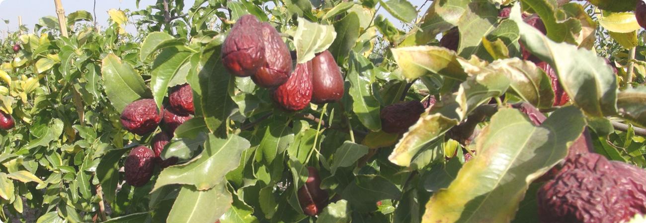ウイグル産の極上特大なつめ・完全無添加のドライフルーツ