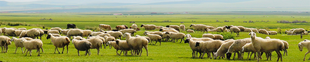 天然羊腸、豚腸の加工現場