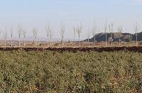 クコの実の農場_中国_海外有機認証取得
