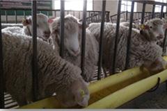無農薬なつめ肥料の元である羊の画像